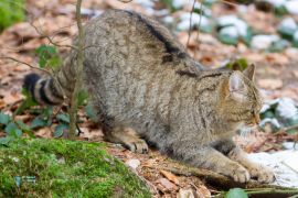 Chat forestier-sauvage