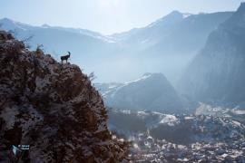 Bouquetin des Alpes.