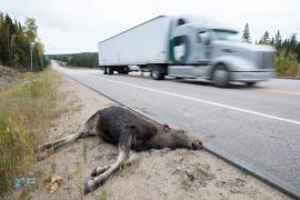Elan victime de la route