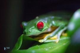 Grenouille aux yeux rouges-