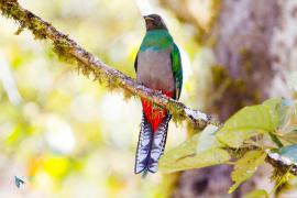 Quetzal resplendissant. Femelle