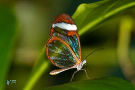 ithomia patilla Ithomidae