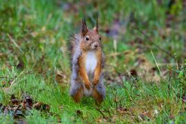 Ecureuil roux et gris