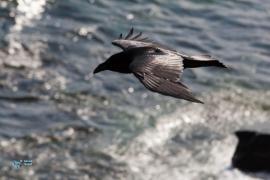 Grand corbeau.