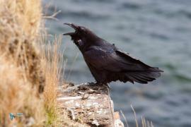 Grand Corbeau,