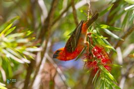 Foudi de Madagascar -