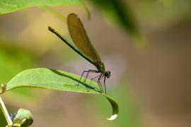 Caloptéryx vierge.