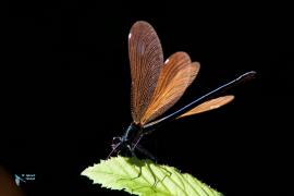 Caloptéryx vierge. Calopteryx virgo