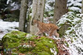 Lynx boréal