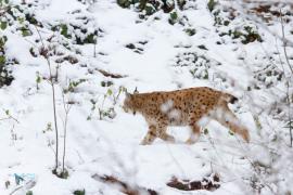 Lynx boréal.  captivité.