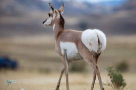 Antilope d'Amérique.