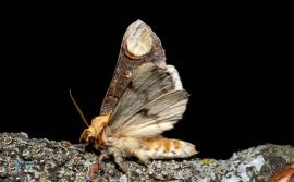 Bucéphale-Phalera bucephala