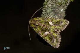 l'Arrochière-Trachea atripliscis