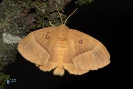 Bombyx du chêne-