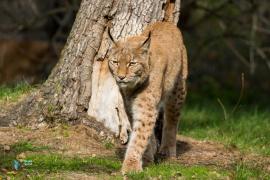 Lynx boréal.
