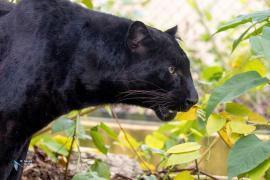 Panthère noire (mélanique).