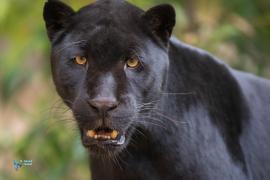 Jaguar mélanique.