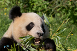 Panda géant.