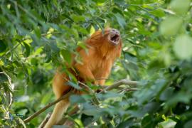 Tamarin lion doré.