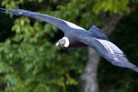 Grand Condor des Andes.